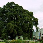 eltule_giant_tree1
