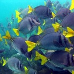 big_school_of_doctorfish