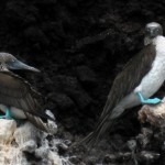 blue-footed_booby