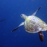 green_seaturtle