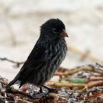 ground_finch1
