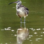 immigrated_whimbrel