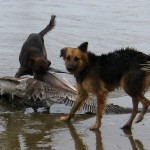 puertolopez_pelican_survied