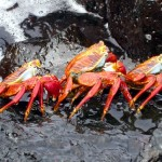 sally_lightfoot_crabs