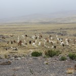 22-wild-vicunas-at-the-lucanas-pampas