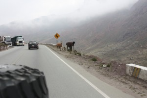 6-wild-llamas-on-the-side-of-the-road