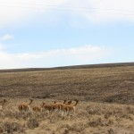 8-vicunas-at-4k-meters
