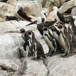 islas-ballestas_lots-of-pinguins