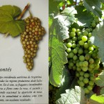 12_cafayate-special-grape-torrontes