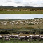 02-sheep-sheep-and-sheep