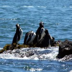 05-chiloe-pinguinera_magellanic-penguin