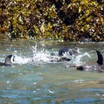 06-chiloe-pinguinera_magellanic-penguin