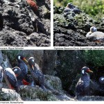 07-chiloe-pinguinera_sea-birds1