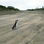 07-punta-tombo_penguin-crossing