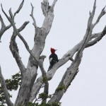10-giant-woodpecker