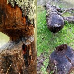13-more-signs-of-beavers