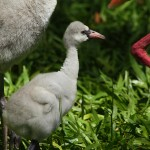 03-bird-park_flamingo-baby
