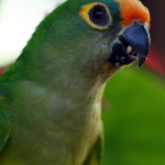 36-portrait-of-a-parakeet