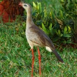 38-red-legged-seriema
