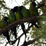 44-black-caped-conure