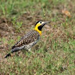 59_yellow-woodpecker