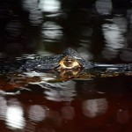 64_swimming-caiman