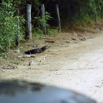 65_caiman-lying-on-the-road