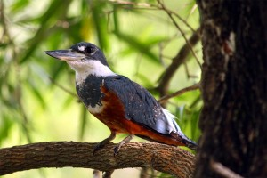 66_kingfisher-with-red-tummy
