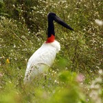 67_jabiru-major-storck-of-pantanal