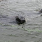 33_sea-lions-in-the-harbor